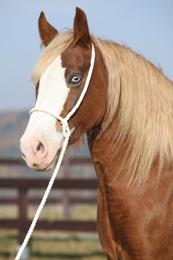 Beautiful welsh cob mare with halter. Portrait of beautiful welsh cob mare with halter royalty free stock photography