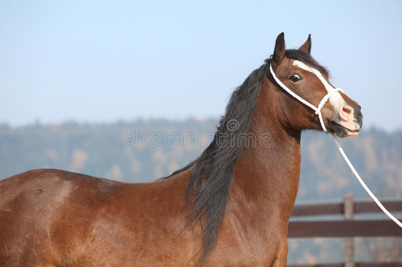 Beautiful welsh cob mare with halter. Portrait of beautiful welsh cob mare with halter royalty free stock photo
