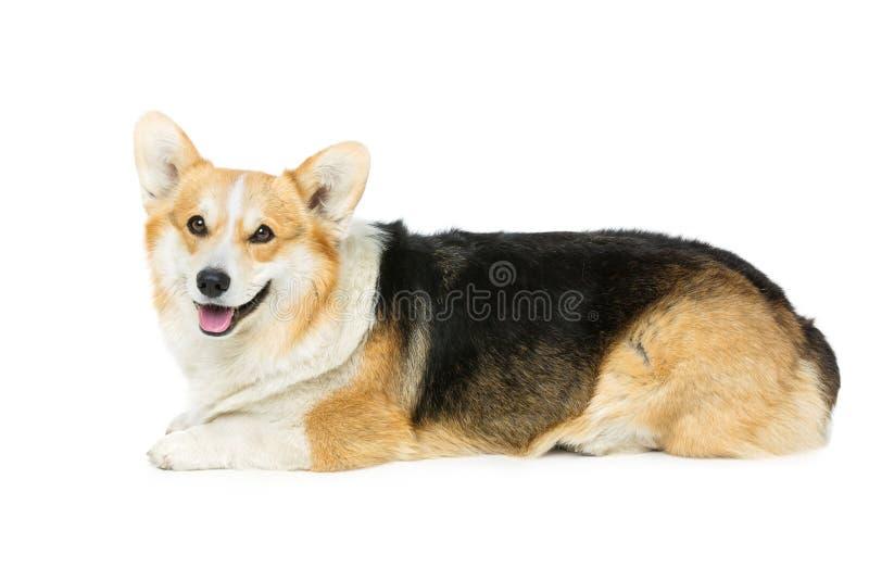 Beautiful welsh corgi dog. Beautiful welsh pembroke corgi dog lying over white background. . Copy space stock photo