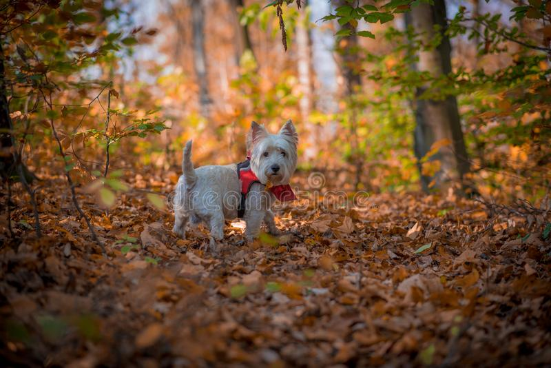 Dog Westie. The beautiful westie in the autumn season royalty free stock images