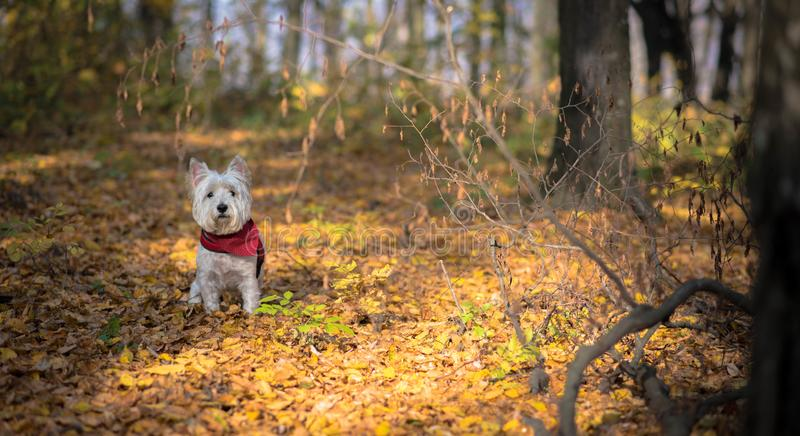 Dog Westie. The beautiful westie in the autumn season royalty free stock photography