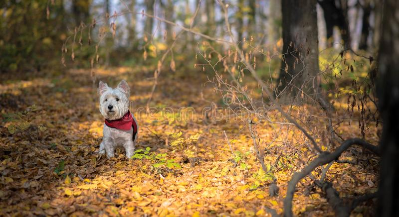 Dog Westie. The beautiful westie in the autumn season stock images