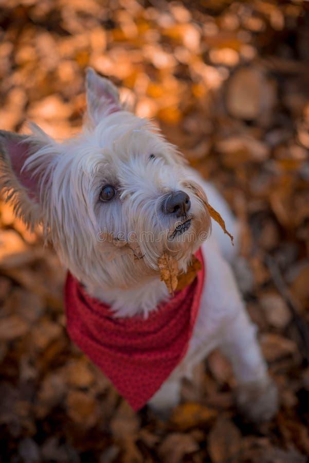 Dog Westie. The beautiful westie in the autumn season royalty free stock photos