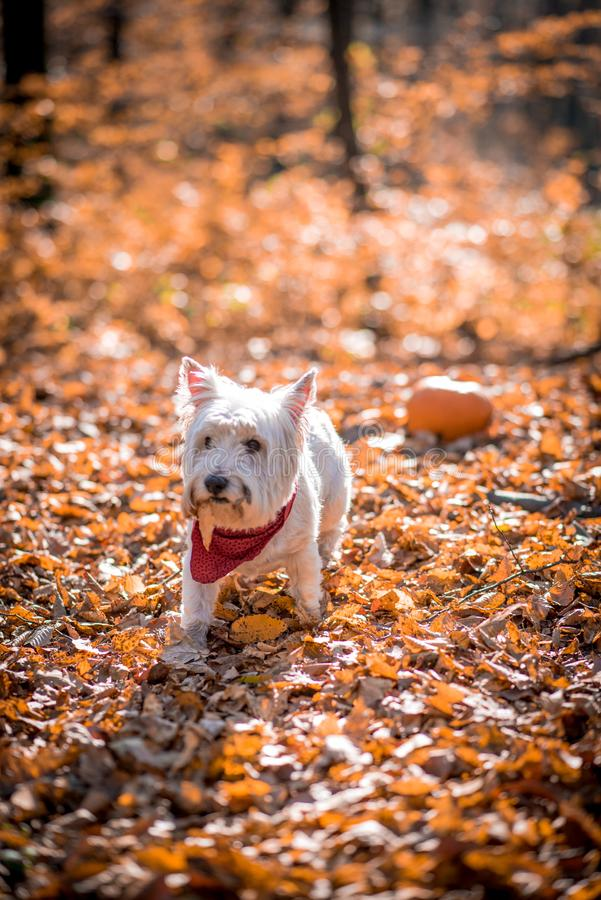 Dog Westie. The beautiful westie in the autumn season stock photo