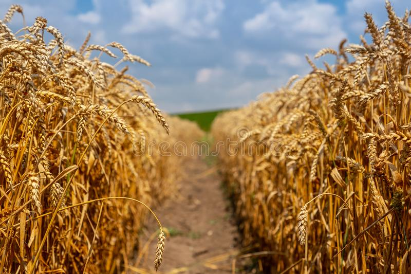 Beautiful wheat field on a sunny day. Grain Harvest Ukrainian landscape royalty free stock image
