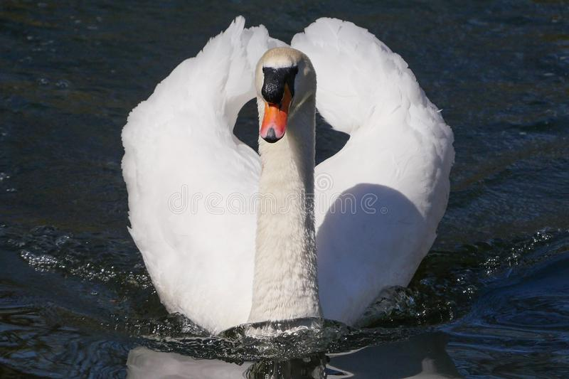 Beautiful white adult mute swan portrait, swimming straight towards camera on a sunny day. Beautiful white adult mute swan portrait, face-on swimming straight stock images