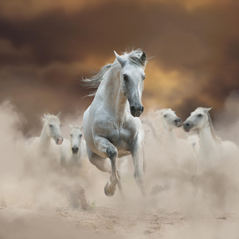Beautiful white andalusian stallion with herd on freedom. Beautiful andalusian stallion with herd, running in the dusty desert in sunset stock image