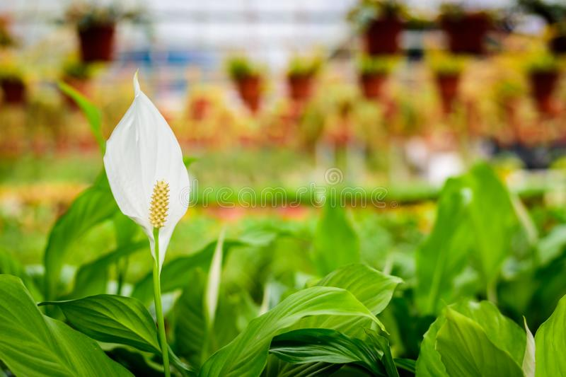 White anthurium flowers in the garden. stock photography