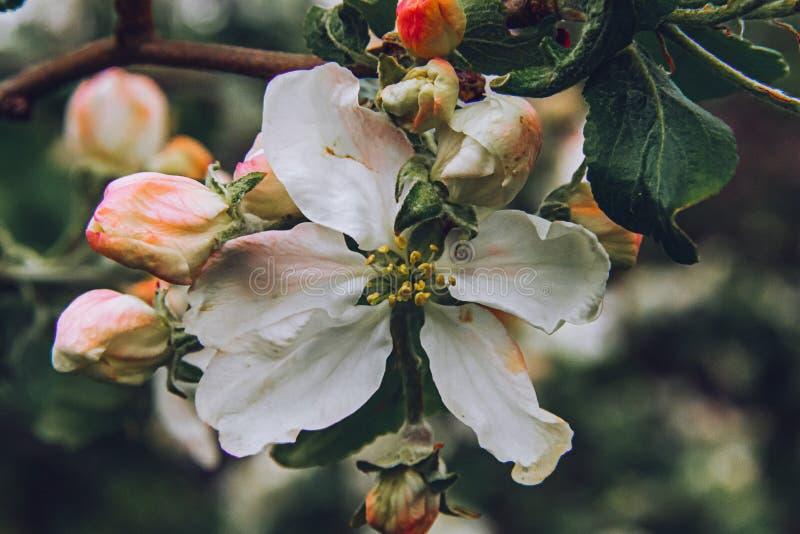 Beautiful white apple tree flowers in springtime stock photo