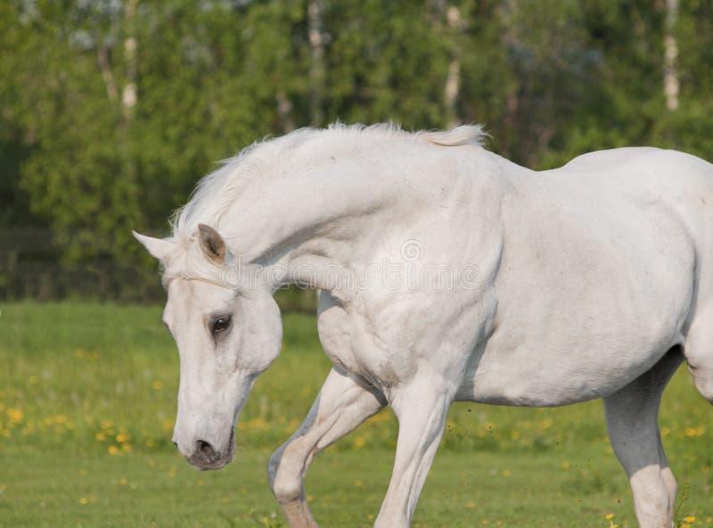 Beautiful white arab horse in summer field stock photo