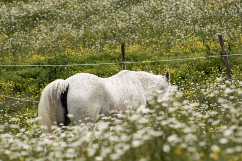 Beautiful white arabian horse grazing in a field full of daisies. Spring concept. Farm life royalty free stock image
