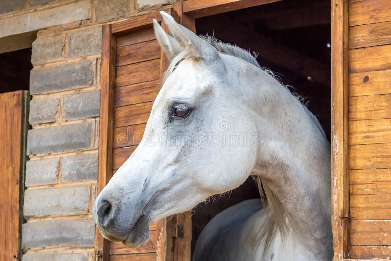 Beautiful white Arabian horse looking out of stall window at brick stable. Arabian horse portrait royalty free stock photo