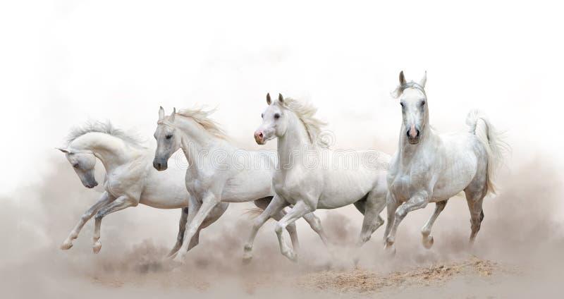 Beautiful white arabian horses stock photos