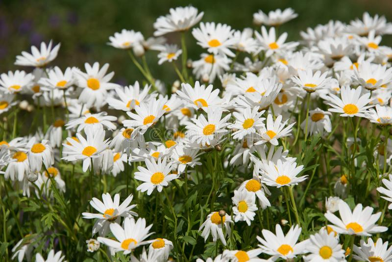 A beautiful white Argyranthemum flower in a green soil background. royalty free stock image