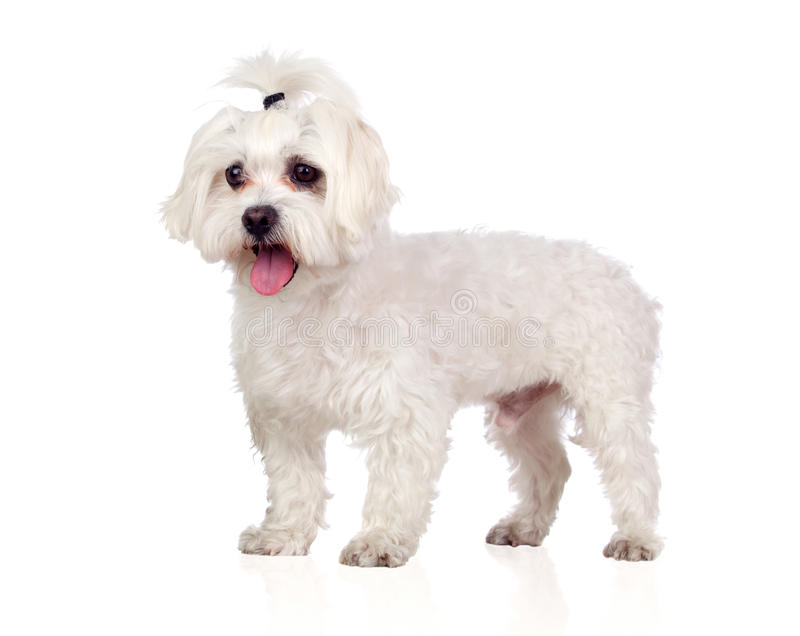 Download Beautiful White Bichon Maltese Stock Image - Image: 26487589