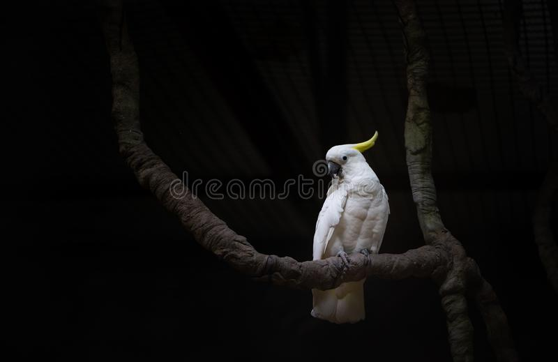 Beautiful white bird, Sulphur-crested cockatoo royalty free stock photo