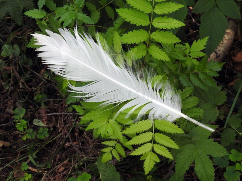 Beautiful white birds  feather on green leaves, Lithuania royalty free stock photography