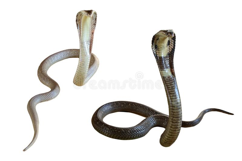 9 417 Black White Snake Photos Free Royalty Free Stock Photos From Dreamstime