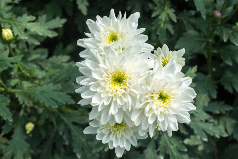 Beautiful white blossom Chrysanthemums inside green house, a popular plant of the daisy family. Having brightly colored ornamental flowers and existing in many royalty free stock photos