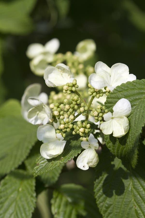 Shasta Doubfile Viburnum White Blossoms royalty free stock image