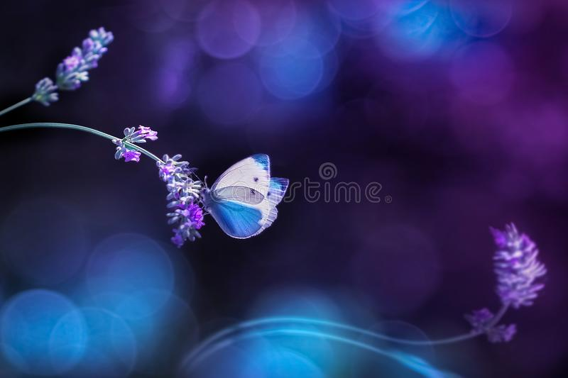Beautiful white blue butterfly on the flowers of lavender. Summer spring natural image in blue and purple tones. Free space for te. Xt. Fantastic summer natural royalty free stock images