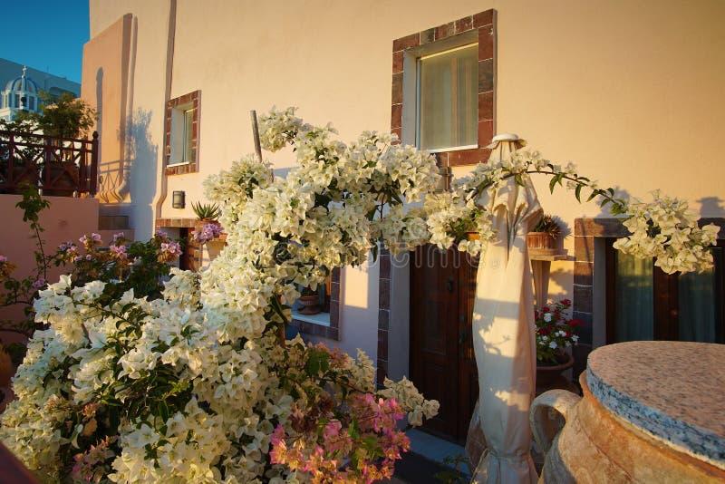 Beautiful white bougainvillea near a house in Santorini. Greece royalty free stock photography