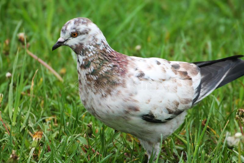 A beautiful white-brown pigeon resting in the grass of a city park royalty free stock photos