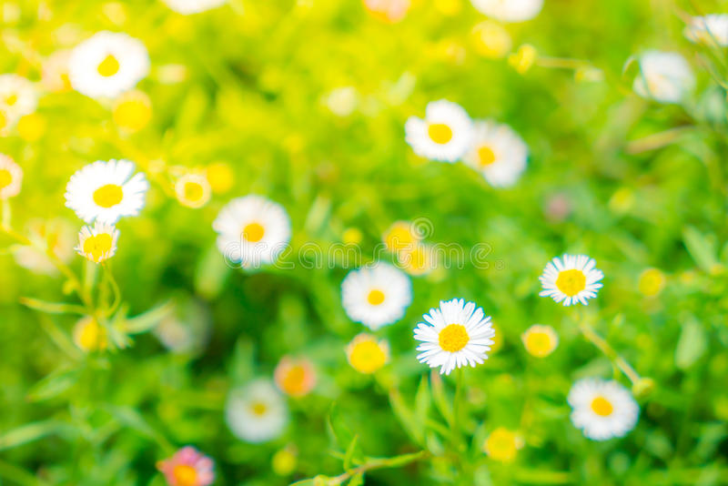 Beautiful White bunch flowers on green grass background . royalty free stock photos