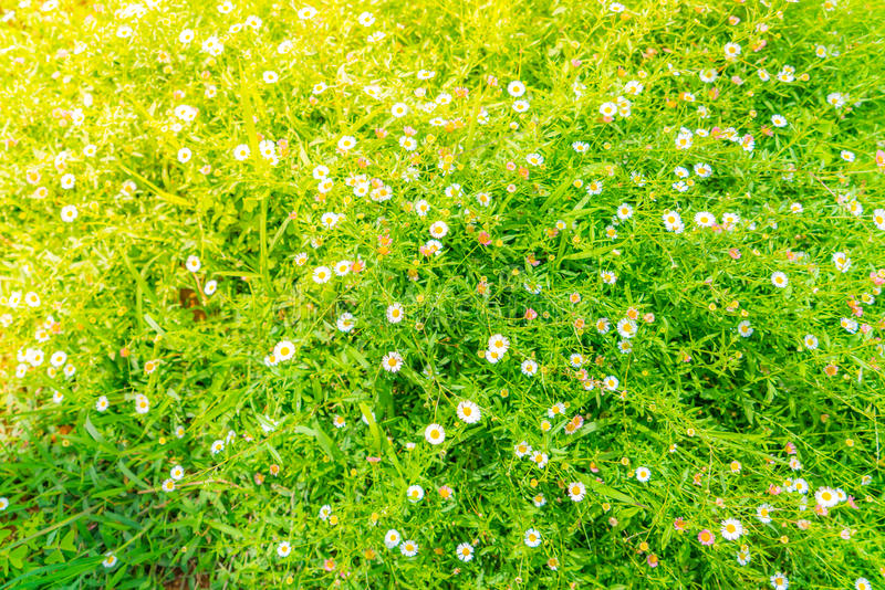 Beautiful White bunch flowers on green grass background . royalty free stock images