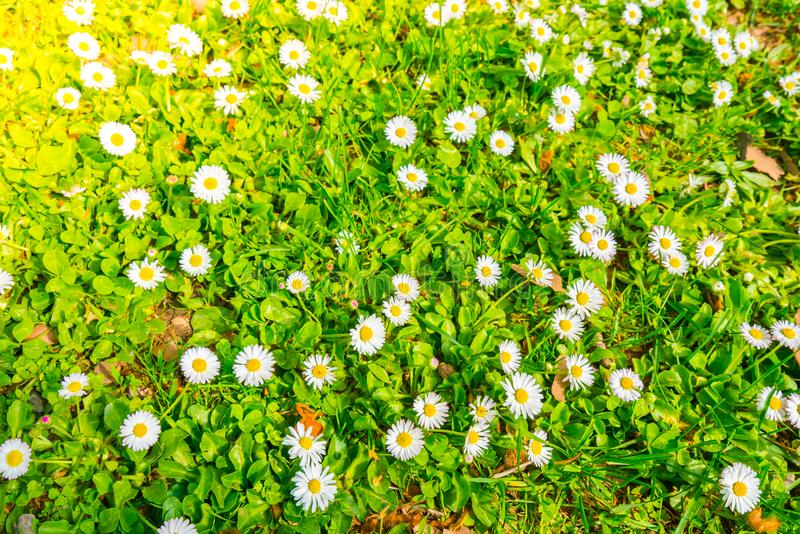 Beautiful White bunch flowers on green grass background . royalty free stock photo