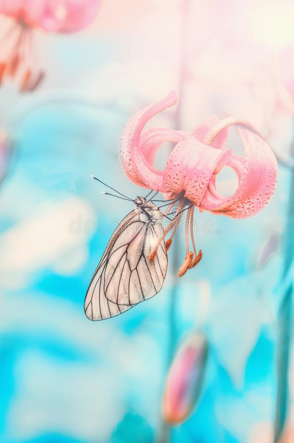 A beautiful white butterfly sits on a pink Lily flower. Close-up, copy space. Background stock photography