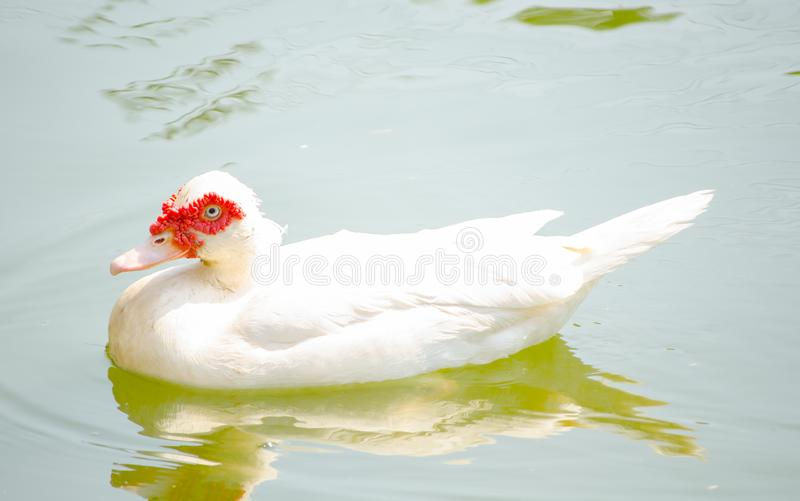 Beautiful white Cairina moschata duck swimming in a water pond. stock photos