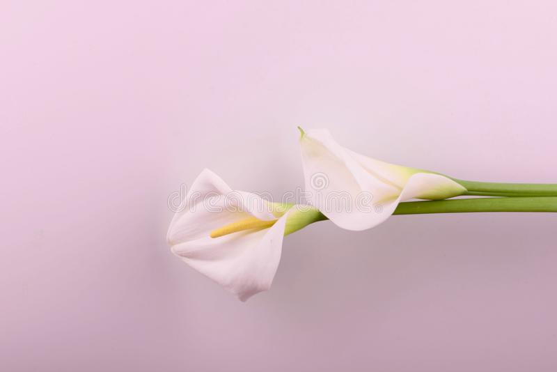 Gentle beautiful white callas on a light pink background. Beautiful white callas on a pink background. Beautiful flowers, a place for an inscription royalty free stock image