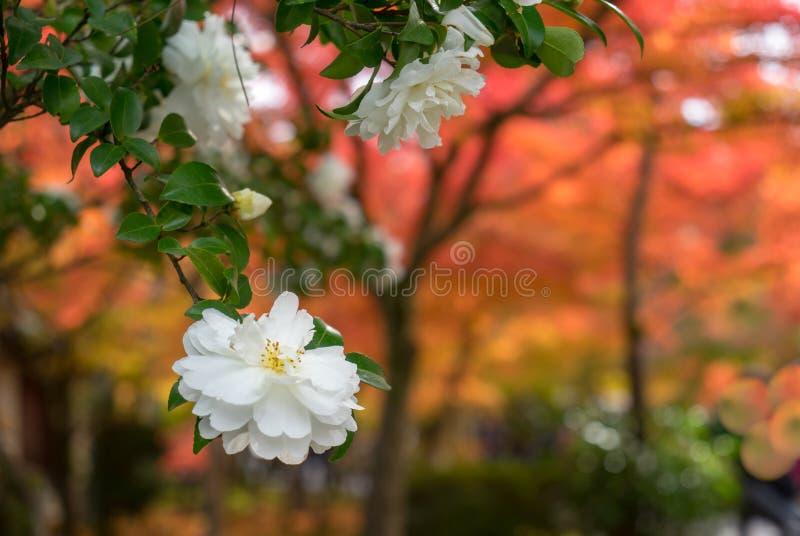 White Japanese Camellia flower with soft focus orange autumn trees stock photo