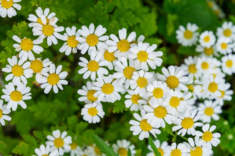 Beautiful white camomiles daisy flowers field on green meadow stock images