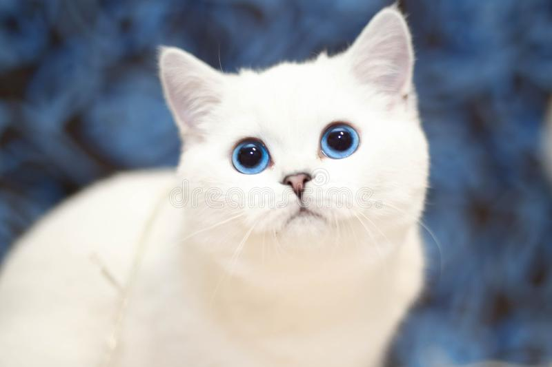 Beautiful white cat with blue eyes. White cat with blue eyes looking at camera, background blurred stock photo