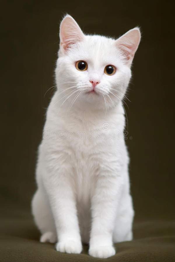 Beautiful white cat with yellow eyes. Sitting on blanket royalty free stock photography