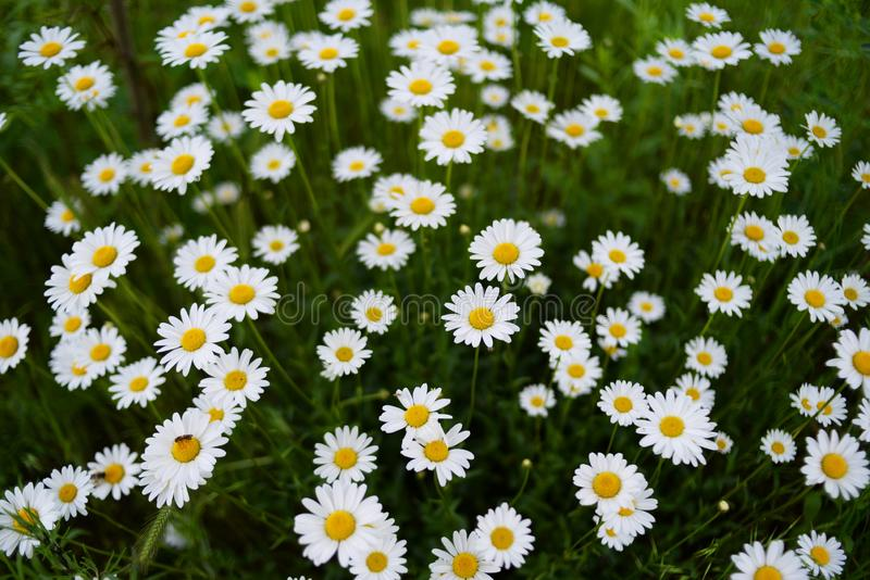 A beautiful white chamomile field on a green background stock photography