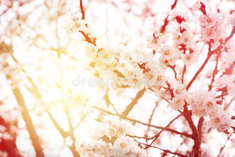 Download Beautiful White Cherry Blossom In Spring Day Background Stock Photo
