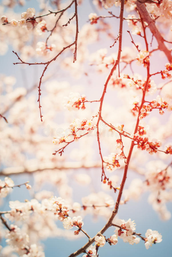 Beautiful White Cherry Blossom in Spring Sunny Day on Blue Sky. Beautiful Branches of White Cherry Blossom in Spring Sunny Day on Blue Sky. Abstract natural stock image