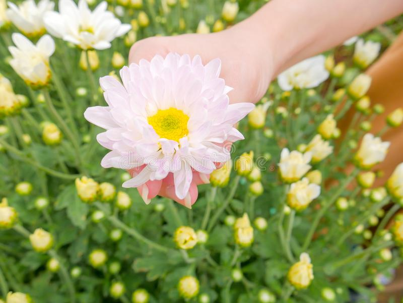 A beautiful white Chrysanthemum flower in a hand with garden. View background stock images