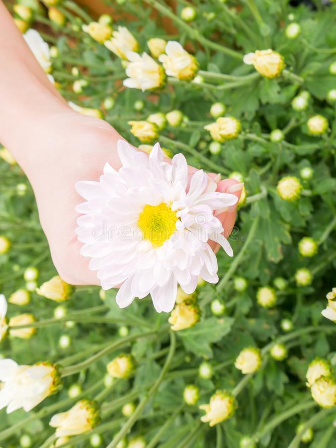 A beautiful white Chrysanthemum flower in a hand with garden. View background royalty free stock photos