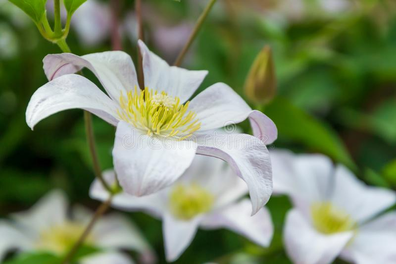Beautiful white clematis blossom. Background with white flowers royalty free stock photo