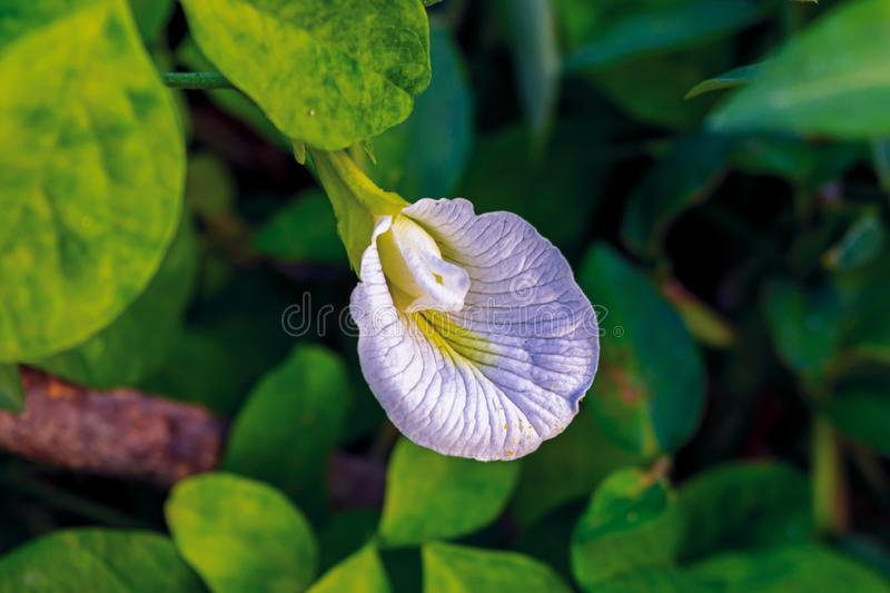 Beautiful white clitoria ternatea or white butterfly pea flower with green leaves on background royalty free stock image