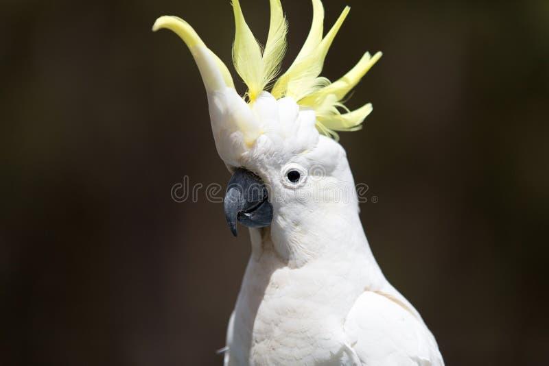 Beautiful white cockatoo, Australia. stock images