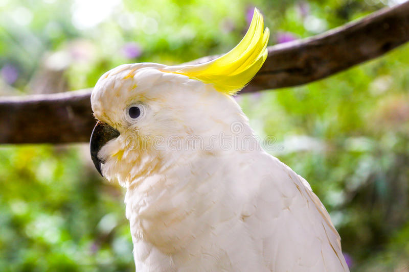 A beautiful white cockatoo bird stock images