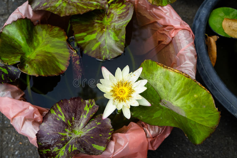 Beautiful white color water lilies or Nymphaea blooming among leaves in plastic pot in local gardening shop royalty free stock photography