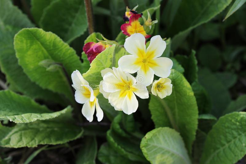 The beautiful white colors primrose flowers garden royalty free stock photography