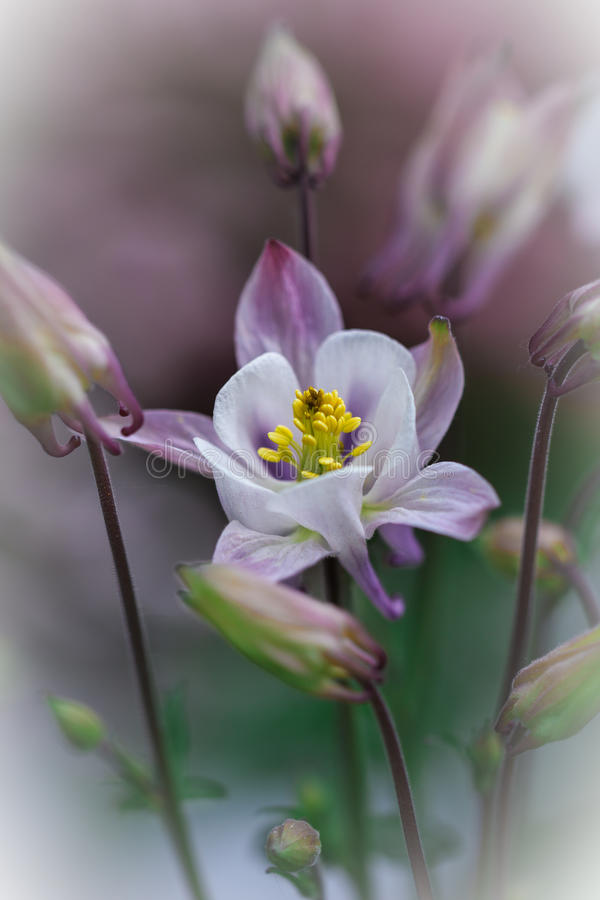 Beautiful white Columbine in selective focus stock photography