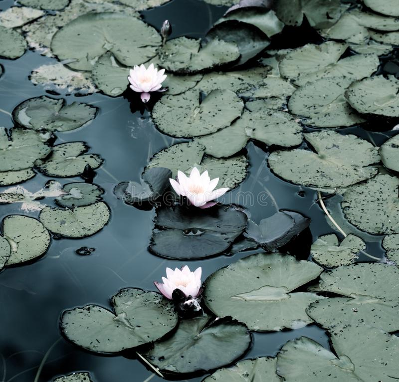 White Creamy Water Lilies. Beautiful White Creamy Water Lilies between Leafs closeup Outdoors. Focus on Foreground stock photo